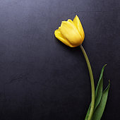 One beautiful yellow Tulip in close-up against a dark blue-gray stucco wall.