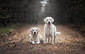 two golden retriever dogs walking in the forest in the rain