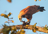 Black-Collared Hawk in The Pantanal, Brazil