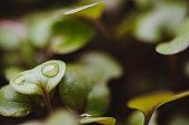 Seedlings for your Home Garden – Kohlrabi Seedlings