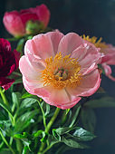 Beautiful blooming pink peony flower on a black background. Can be used for greeting card. Art photography.