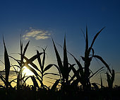 Reeds at dawn with intense blue sky