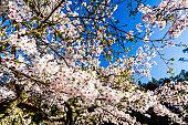 Cherry flowers bloom in Alishan of Chiayi, Taiwan.