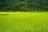 Ripe paddy Field with Mountains Background, Taiwan eastern.