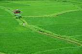 Vibrant green paddy field with a rustic style pavilion in Thailand