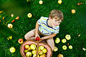 Lovely blond happy kid boy picking and eating red apples on organic farm, autumn outdoors. Funny little preschool child having fun with helping and harvesting in domestic garden orchard