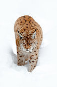 Lynx walking in snow. Portrait of Eurasian Lynx in winter. Wildlife scene from Czech nature. Snowy cat in nature habitat. Detail close-up portrait animal. Cold nature with animal. White with wild cat.