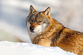 Winter scene with danger animal in the forest. Gray wolf, Canis lupus, portrait with stuck out tongue, at white snow. Detail face of wolf. Wild dog in the nature.