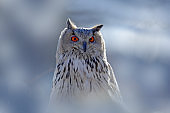 Winter face portrait of owl. Eastern Siberian Eagle Owl, Bubo bubo sibiricus, sitting on hillock with snow in the forest. Birch tree with beautiful animal. Bird from Russia winter. Cold winter, bird.