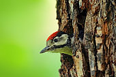 Great Spotted Woodpecker, detail close-up portrait of bird head, black and white animal, Czech Republic. Detail bird with clear green background. Woodpecker, face portrait of red cap bird in nest hole