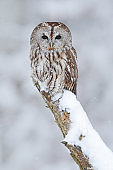 Tawny Owl, snow covered bird in snowfall during winter, nature habitat, Norway
