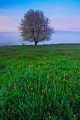 Solitary tree. Foggy summer morning in the mountains. Blooming tree on the hill with fog. Tree from Sumava mountain, Czech Republic. Fog in the landscape. Twilight in the landscape with blooming tree.