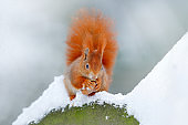 Squirrel with big orange tail. Feeding scene on the tree. Cute orange red squirrel eats a nut in winter scene with snow, Czech republic. Wildlife scene from snowy nature. Animal cold behaviour.