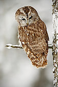 Winter scene with owl in the forest. Tawny Owl snow covered in snowfall during winter, tree trunk with snow. Owl with snow. Winter in the forest. Owl in the nature habitat. Hunting owl with snow.