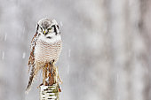 Hawk Owl sitting on the branch during winter with snow flake. Winter scene with bird. Snow fall with owl. Wildlife winter scene from Finland.