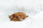 Mother with young, wild cat family. Lynx in nature wildlife habitat. Two cat, trees snow. Lynx in snow forest. Eurasian Lynx in winter. Wildlife scene from Czech nature. Snowy cat in nature habitat.