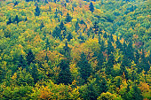 Yellow trees. Autumn forest, many trees in hills, orange oak, yellow birch, green spruce, Mala Fatra mountain, Slovakia. Beautiful fall landscape. Wood with colours tree. Rainy day in forest with fog.