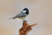 Song bird with pink background. Coal Tit, songbird sitting on beautiful lichen branch, animal in the nature habitat, Germany. Small bird with black head in the nature habitat. Wildlife Europe.