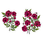 beautiful peony flowers as decorative elements on white