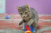 Beautiful gray mongrel kitten playing.