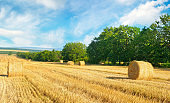 Straw bales on a wheat field and blue sky. Agricultural landscape.