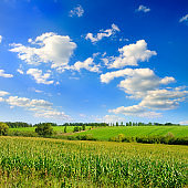 Corn field in the sunny and blue sky.