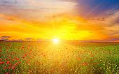 Beautiful field of red poppies iand sunset .