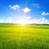 Green wheat field, sun rise and blue sky.