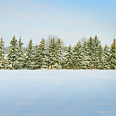 Spruce tree forest covered by fresh snow during Winter Christmas time.