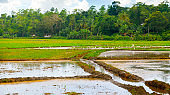 Green field of rice plant with water. Grain culture of Asia.