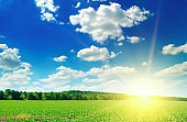 Green field, sunrise and blue sky. Agricultural landscape.