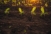Small seedlings grow in the newly cultivated soil