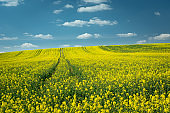 Field of yellow rape on the hill, horizon and white clouds on blue sky