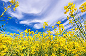 Flowering Oilseed Rape Field Closeup with Blue Cloudy Sky Above.