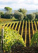 Vineyards in autumn.