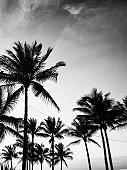 Palm Trees, Miami, Florida.