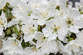 Beautiful white flowers, closeup