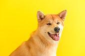 Cute Akita Inu dog on color background