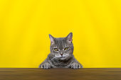 Big-eyed naughty obese cat looking at the target. British sort hair cat.Pink color background