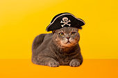 Big-eyed pirate cat on the desk.Grey color British sort hair cat.