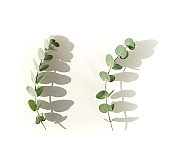 green eucalyptus leaves and shadows  on a white background.  top view. copy space.flat lay. Floral card.