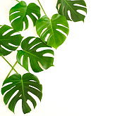 green monstera leaves pattern frame isolated on a white background. top view.copy space.