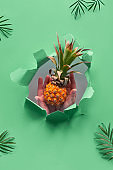 Small ripe orange pineapple cradled in human hand. Hand with the fruit show out of torn paper hole. Tropical neo mint green geometric background with palm leaves
