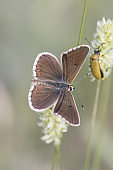 Aricia montensis Brown argus butterfly with open wings and grayish white with spots and spots with folded wings perched on plant with defocused green background