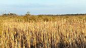 swamp and reeds, autumn