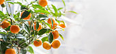 Branch with fresh ripe tangerines