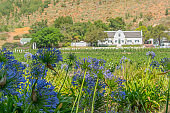 Flower in Front of the Wine Field and the Buildings of the Winery Rickety Bridge, Franschhoek