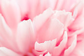 Macro view of pink peony flower.
