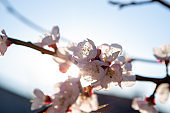 Lots of cherry blossoms on the young twig. The flowers can see the reproductive organs of the plant.