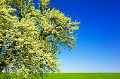 Blooming pear tree against the background of clear blue sky